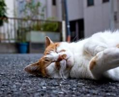 路上に寝る猫