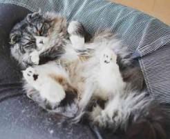 ソファの猫